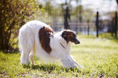 Hunting dog Borzoi.  photo