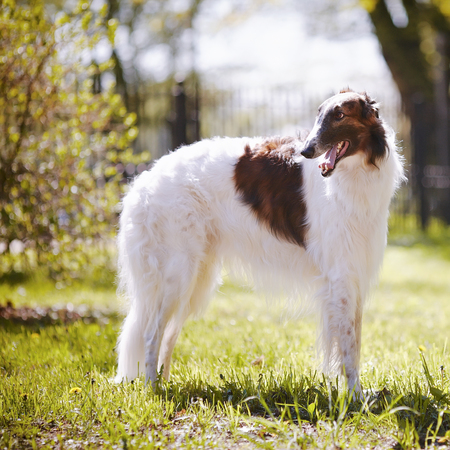 Hunting dog. Borzoi. White dog with spots. Dog for hunting. photo