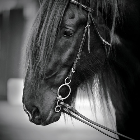 Muzzle of a horse. Stallion. Portrait of a horse. Thoroughbred horse. Beautiful horse. photo