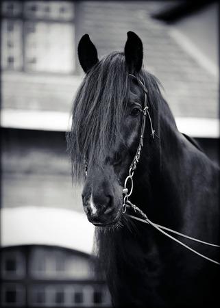 Black stallion. Portrait of a black horse. Thoroughbred horse. Beautiful horse. Stock Photo - 29865125