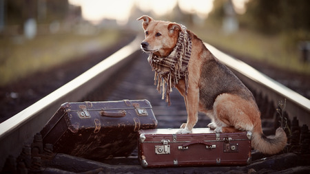 waits: Dog on rails with suitcases. The dog looks for the house. The dog waits for the owner. The lost dog. Mongrel on the road. Dog on rails. Dog with suitcases. Not purebred dog on the road. Traveler. Vagrant dog. Tramp. Stock Photo