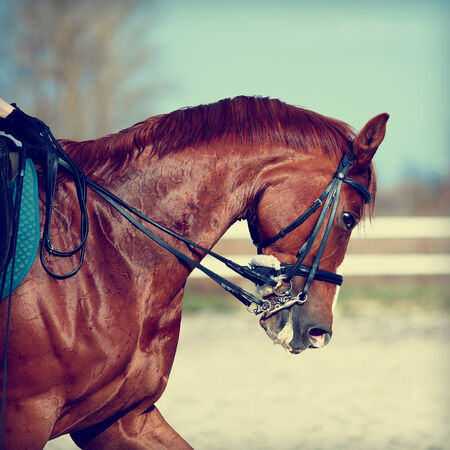 on horses: Brown stallion. Portrait of a sports red horse. Riding on a horse. Thoroughbred horse. Beautiful horse.