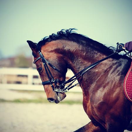 Brown stallone. Ritratto di un marrone cavallo sportivo. Cavalcando un cavallo. Cavallo purosangue. Bellissimo cavallo. Archivio Fotografico - 30258356