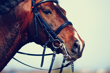 brown horse: Brown stallion. Portrait of a sports brown horse. Riding on a horse. Thoroughbred horse. Beautiful horse.