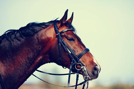 茶色の種牡馬。スポーツの茶色馬の肖像画。馬に乗っています。サラブレッド種競走馬。美しい馬です。 写真素材