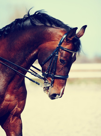 horse harness: Brown stallion. Portrait of a sports brown horse. Riding on a horse. Thoroughbred horse. Beautiful horse.