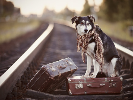 Dog on rails with suitcases. The dog looks for the house. The dog waits for the owner. The lost dog. Mongrel on the road. Dog on rails. Dog with suitcases. Not purebred dog on the road. Traveler. Vagrant dog. Tramp. Stock Photo