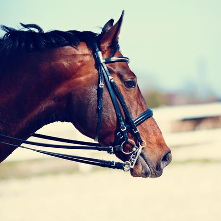 black horse: Brown semental. Retrato de un caballo marrón deportes. Montado en un caballo. Caballos pura sangre. Hermoso caballo.