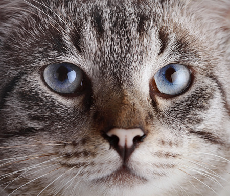 Muzzle of a blue-eyed cat. Portrait of a striped blue-eyed cat. Striped cat. Striped not purebred kitten. Small predator. Small cat. photo