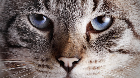 Muzzle of a blue-eyed cat. Portrait of a striped blue-eyed cat. Striped cat. Striped not purebred kitten. Small predator. Small cat.