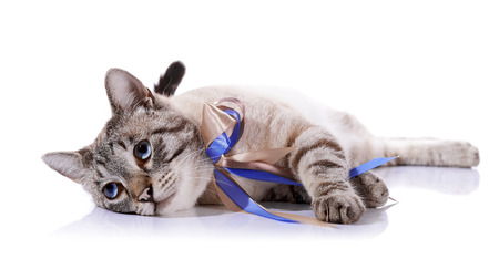 Striped blue-eyed cat with a tapes. Cat with a bow. Portrait of a striped blue-eyed cat. Striped cat. Striped not purebred kitten. Small predator. Small cat. Stock Photo
