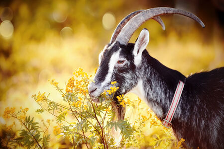 goat head: Goat and tansy. The goat is grazed. Cattle on a pasture. Portrait of a goat with a tansy.