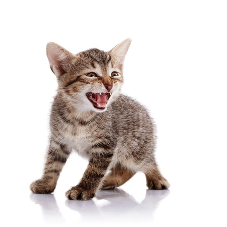 mewing: The mewing striped kitten. Striped not purebred kitten. Kitten on a white background. Small predator. Small cat.