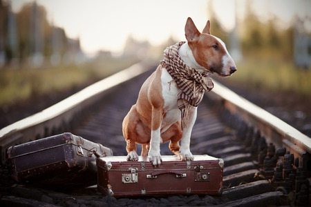 bull terrier: The bull terrier looks for the house. The dog waits for the owner. The lost dog. Bull terrier on the road. Dog on rails. Dog with suitcases.