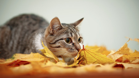 Striped with white a cat and autumn leaves. Striped not purebred kitten. Small predator. Small cat.