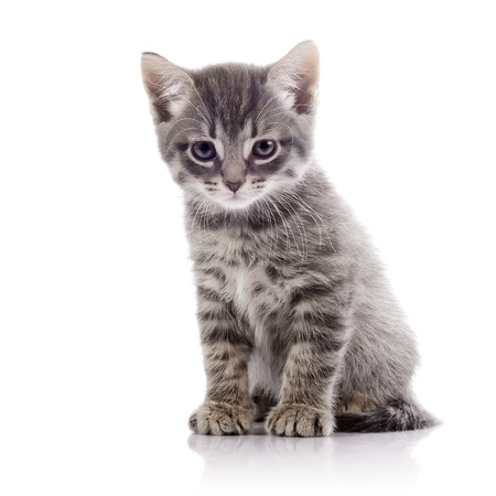 kitten small white: Striped not purebred kitten. Amusing gray kitten. Kitten on a white background. Small predator. Small cat.