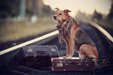 Dog on rails with suitcases. The dog looks for the house. The dog waits for the owner. The lost dog. Mongrel on the road. Dog on rails. Dog with suitcases. Not purebred dog on the road. Traveler. Vagrant dog. Tramp. Stockfoto