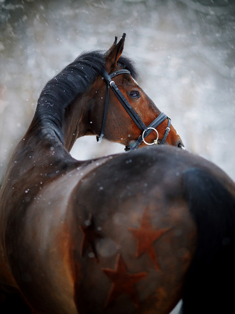 Portrait of a sports stallion. Thoroughbred horse. Beautiful horse. Фото со стока