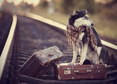 Dog on rails with suitcases. The dog looks for the house. The dog waits for the owner. The lost dog. Mongrel on the road. Dog on rails. Dog with suitcases. Not purebred dog on the road. Traveler. Standard-Bild