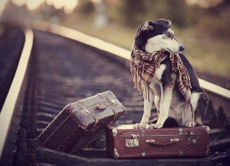 maletas de viaje: Perro en los carriles con maletas. El perro mira hacia la casa. El perro espera a su due�o. El perro perdido. Mestizo en la carretera. Perro sobre ra�les. Perro con maletas. No de pura raza en el camino. Viajero.