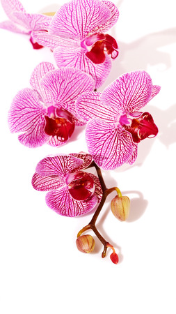Pink orchid Phalaenopsis. Beautiful branch of pink flowers. Tropical pink flowers of an orchid.