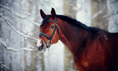 Portrait of a sports stallion. Thoroughbred horse. Beautiful horse. Standard-Bild