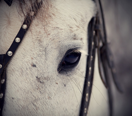 An eye of a white horse in a harness. Muzzle of a horse. Stallion. Portrait of a horse. Thoroughbred horse. Beautiful horse. photo
