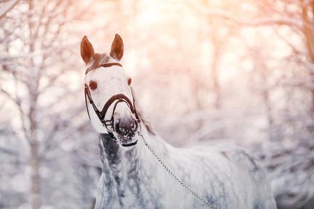 Ritratto di un cavallo grigio sport in inverno al tramonto. Ritratto di uno stallone sport. Cavallo purosangue. Bello cavallo. Archivio Fotografico - 36417240