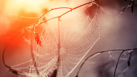 Cobweb in dew drops early in the morning. Cobweb in dew drops at sunrise. photo