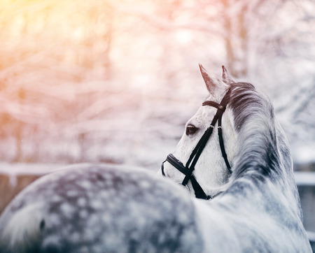 horses in the wild: Portrait of a gray sports horse in the winter at sunset. Portrait of a sports stallion. Thoroughbred horse. Beautiful horse.