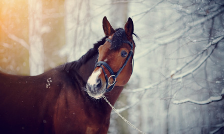 Portrait of a sports horse in the winter.Thoroughbred horse. Beautiful horse.