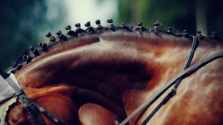 Neck of a sports brown horse with the braided mane. Standard-Bild