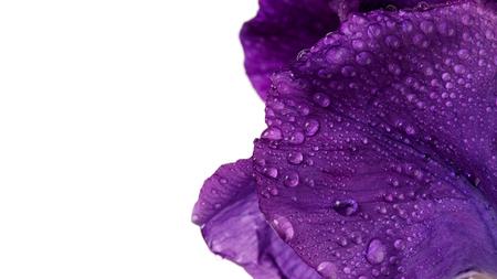violeta: Flor violeta. Flor de iris. iris violeta. Pétalos de una flor violeta de un iris. Flor en gotas de rocío. pétalos de flores en gotas de rocío. Foto de archivo
