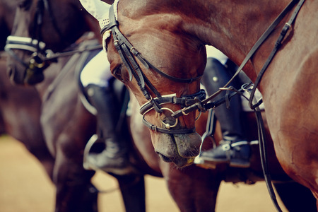 Portrait of a sports stallion. Riding on a horse. Thoroughbred horse. Beautiful horse.