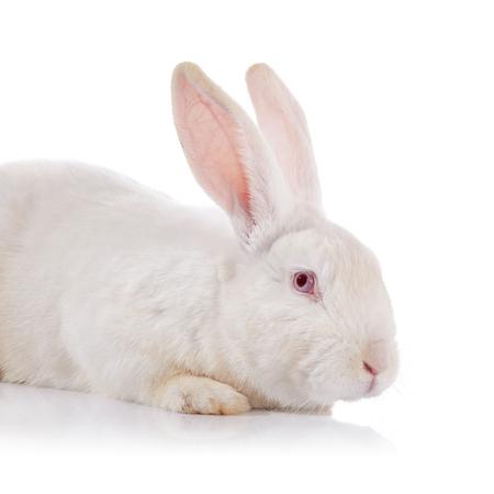 lapin blanc: Portrait d'un lapin timide blanc avec les yeux rouges sur un fond blanc. Banque d'images