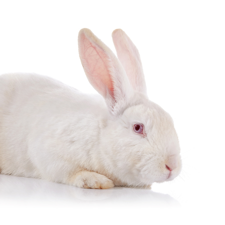 white fur: Portrait of a white timid rabbit with red eyes on a white background.