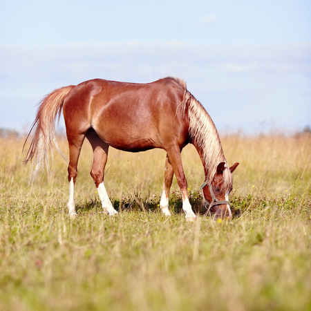 racehorses: Red horse. The horse is grazed. Horse on a pasture. The horse eats a grass. Mare on a meadow.