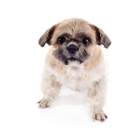 shihtzu: Amusing small beige doggie of breed of a shih-tzu