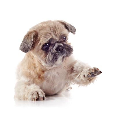 tzu: The decorative amusing small beige doggie of breed of a shih-tzu
