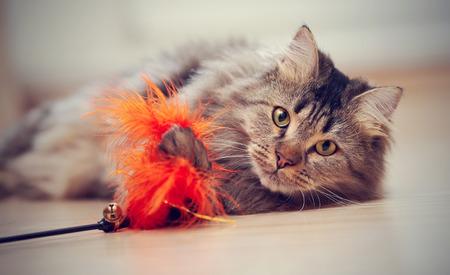 De pluizige gestreepte huiskat speelt met een stuk speelgoed.