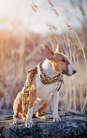 checkered scarf: The red dog of breed a bull terrier in a checkered scarf sits on a stone.