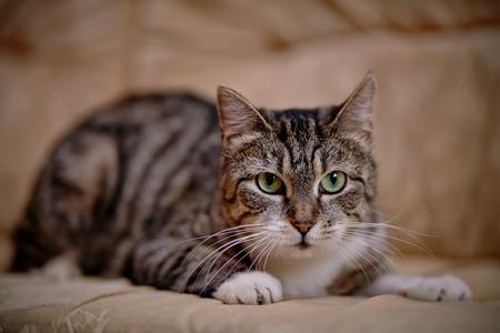 Gray striped domestic cat with green eyes. Standard-Bild