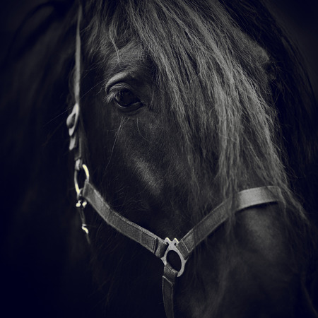 Black-and-white image of a muzzle of a black horse close up. Standard-Bild