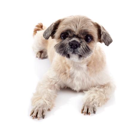 shihtzu: Small beige doggie of breed of a shih-tzu