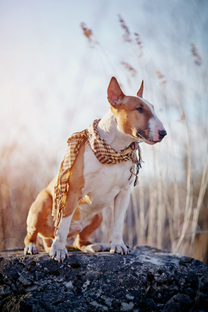 checkered scarf: The dog of breed a bull terrier in a checkered scarf sits on a stone.