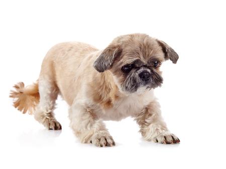 shihtzu: The decorative amusing small beige doggie of breed of a shih-tzu