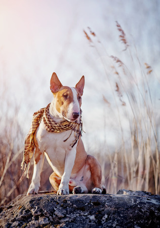 The attentive bull terrier in a checkered scarf sits on a stone.