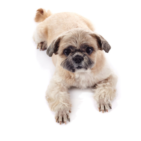 shihtzu: The amusing small doggie of breed of a shih-tzu lies on a white background