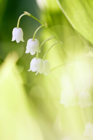 Forest flowers - white lilies of the valley. photo