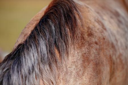 racehorses: Manen van het paard, die is geweid op een weiland. Stockfoto